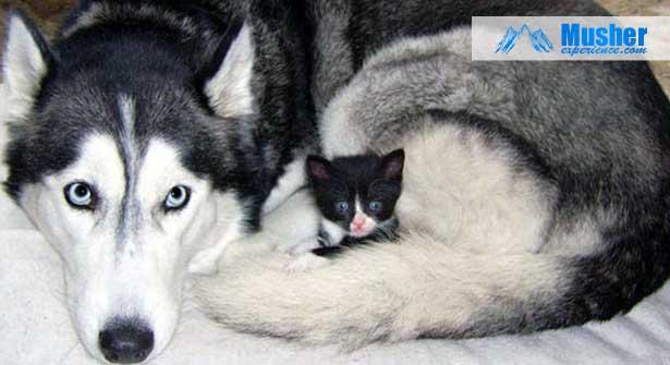 Husky sibérien et bébé chat