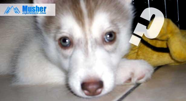 Chiot husky sibérien yeux verts