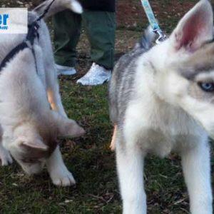 Chiots husky sibérien: inscription au LOF à titre intial