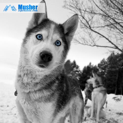Husky, yeux bleu