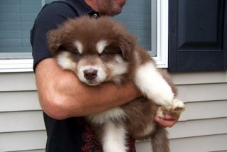 Chiot malamute geant