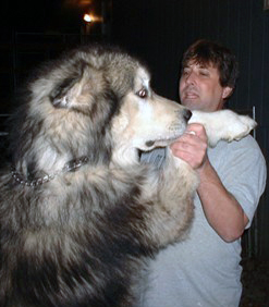 Malamute géant: comparaison avec l'homme