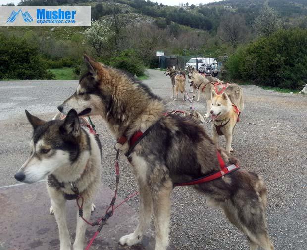Attelage de husky siberien