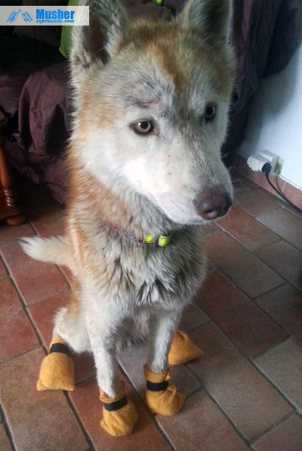 Mon chien et ses bottines de protection