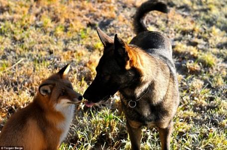 Chien et renard