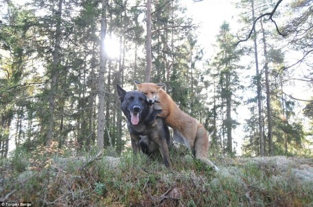 Fox and dog in forest