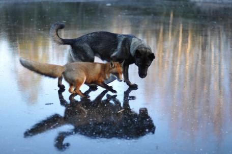 Photo: fox and dog