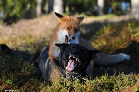 Renard et chien jouent ensemble