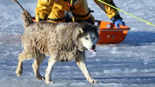 Husky sauvé des eaux glacées