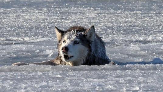 Husky Siberien dans les eaux glacées