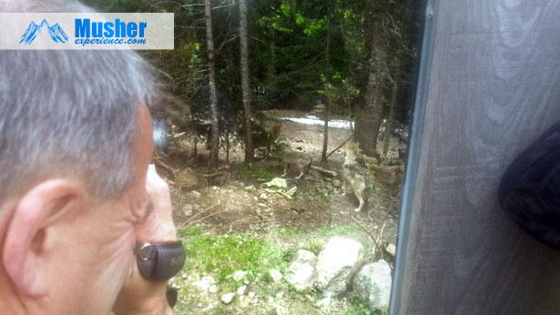 Observation des loups