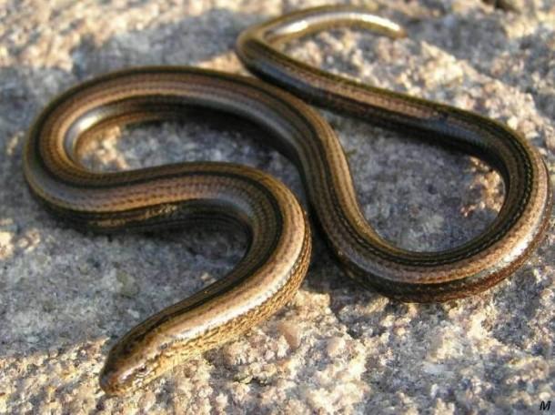 Orvet, à ne pas confondre avec d'autres serpents comme la couleuvre ou la vipère