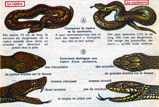 Serpent, dessin: comparaison entre une vipère et une couleuvre