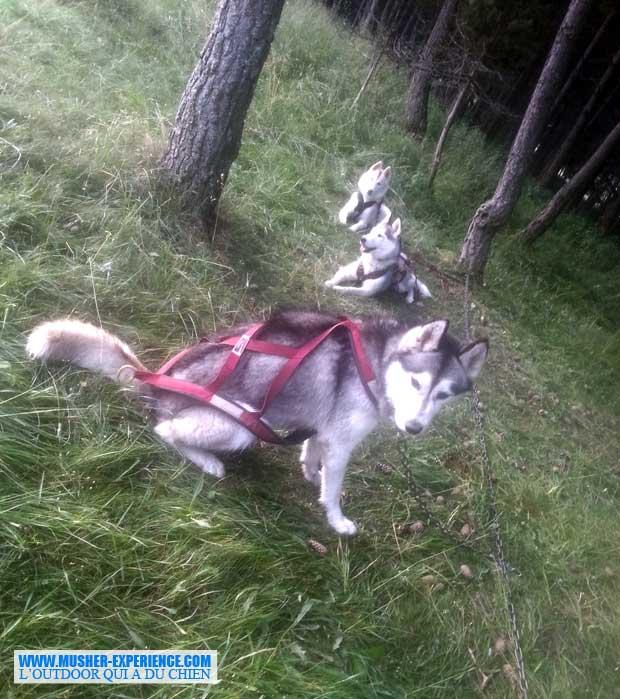 Husky en stake-out