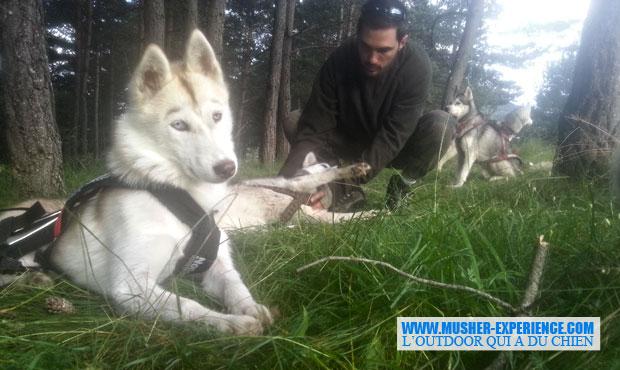 Husky sibérien à Caille