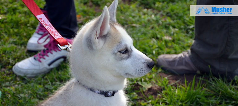 chiot a donner husky