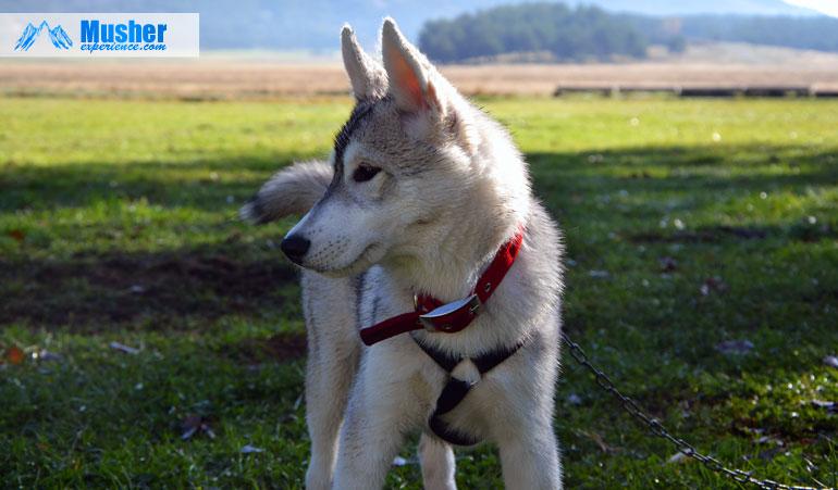 husky-chiot