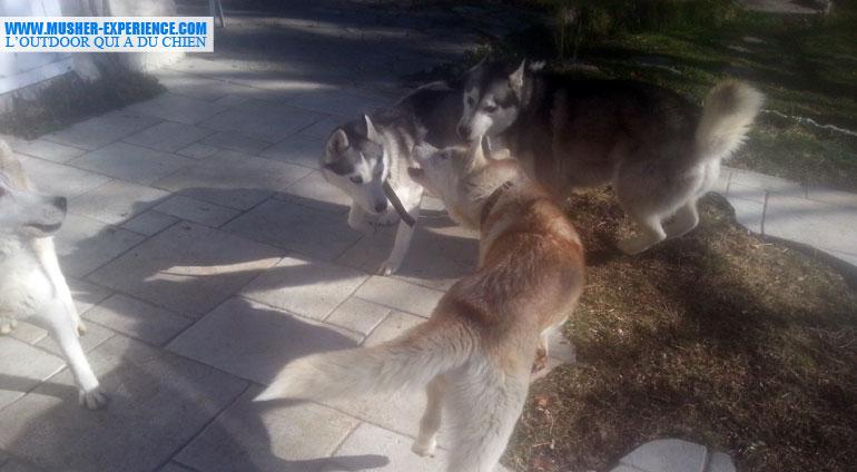 Mes chiens qui jouent à la bagarre