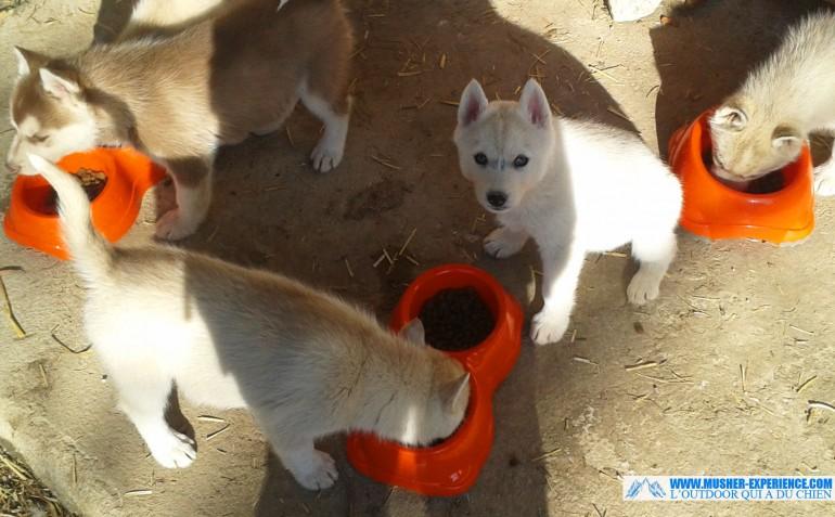 chiots-husky-siberien