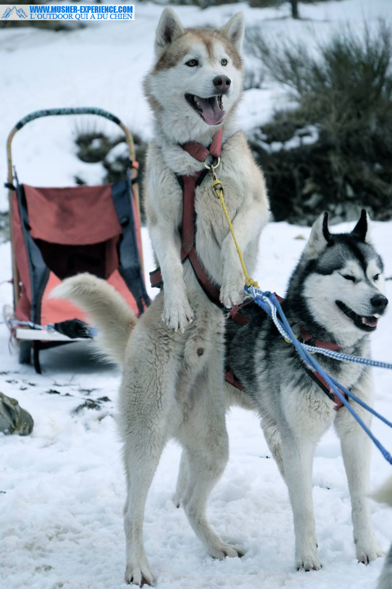 will-to-go-sled-dog-mushing