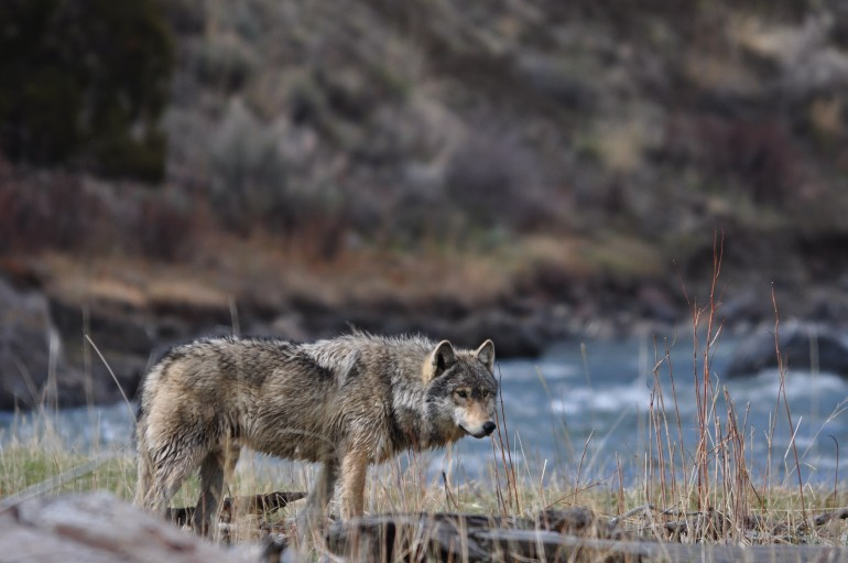 grey-wolf-wildlife-yellowstone-national-park