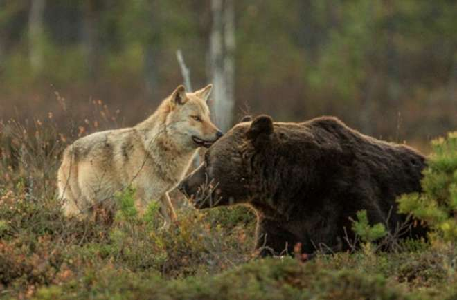loup ours ami