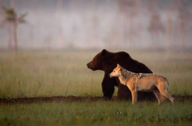 loup ours profil