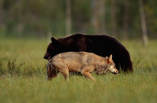 loup ours