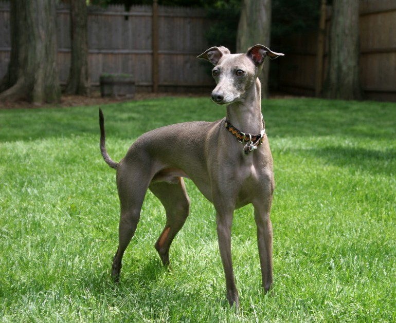Race de chien: Greyhound