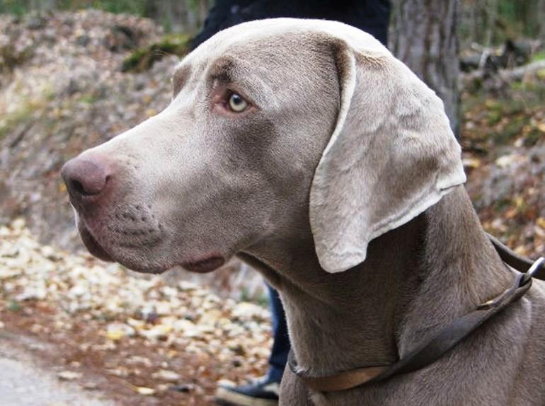 Race de chien: Braque