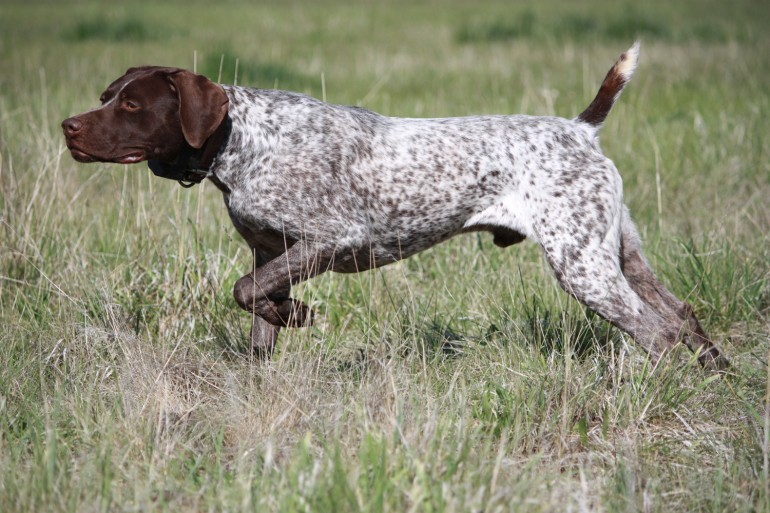 Race de chien: Pointer