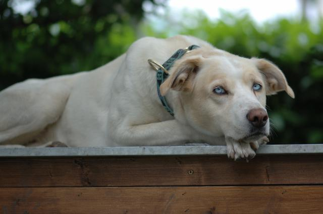 Mozart, Alaskan Husky, premier chien de Mathilde