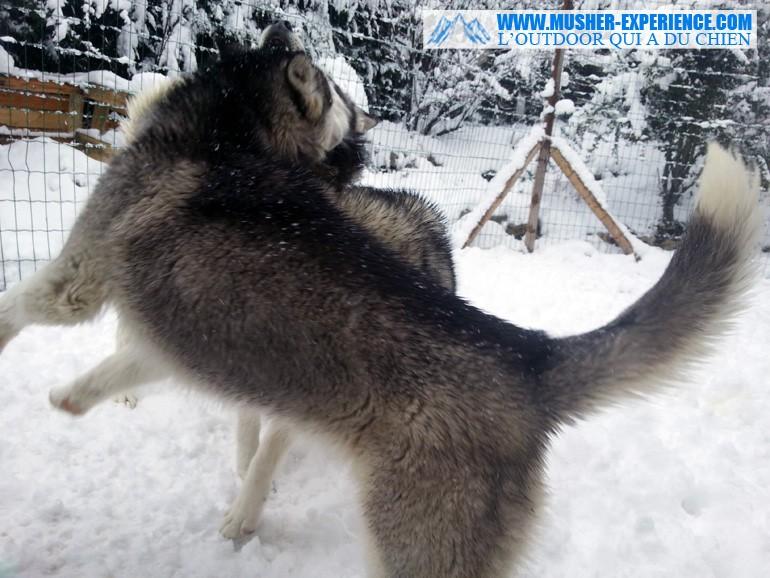 chien-husky-joue-neige