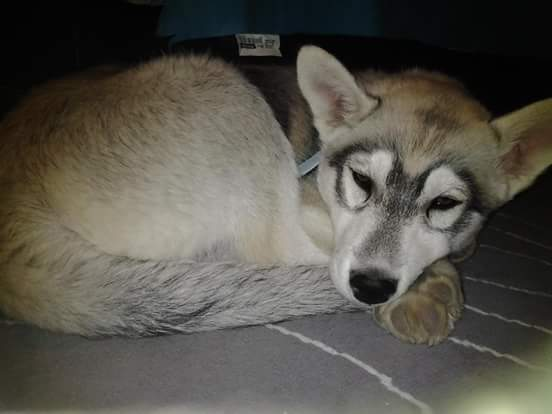 chiot husky musher experience