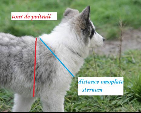 Mesures d'un harnais pour chien