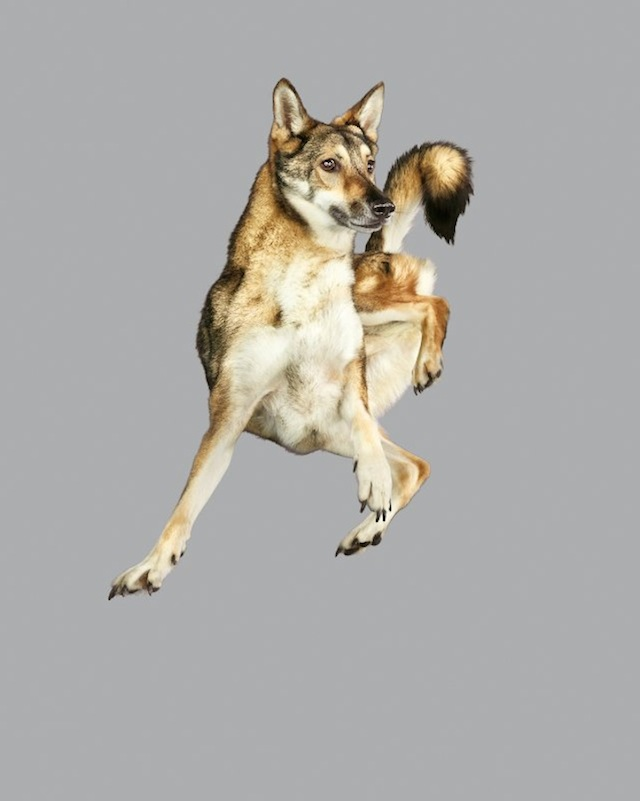 funny-jumping-dogs-series-15