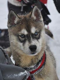 chiot-husky-aux-yeux-bleu