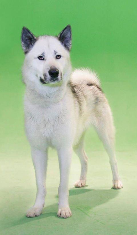 Le courageux groenlandais, un chien remarquable