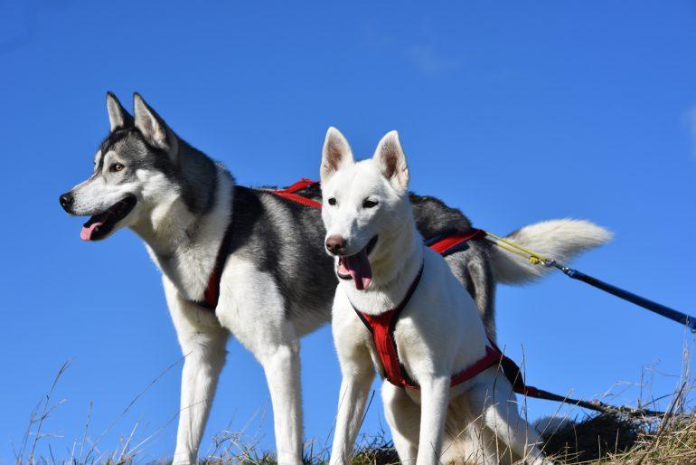 husky siberien harnais chien rouge