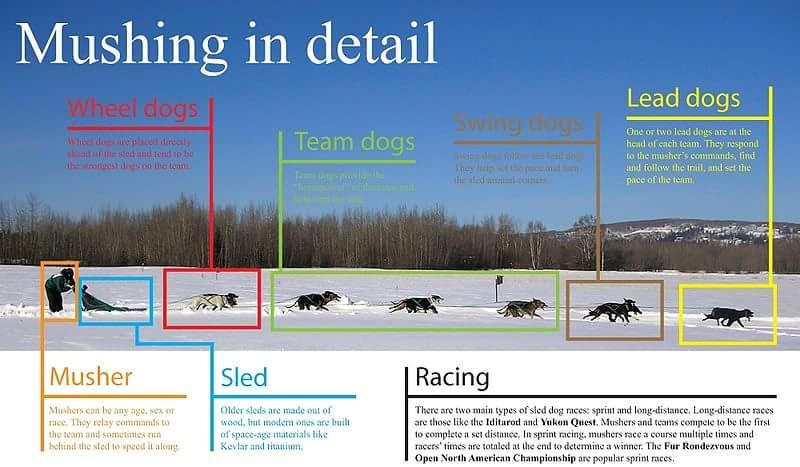 Position des chiens dans l'attelage