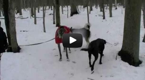signaux-apaisement chien