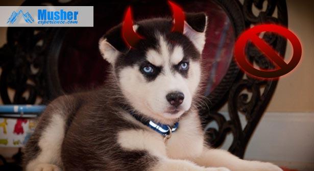 ne-pas-adopter-chien-nordique