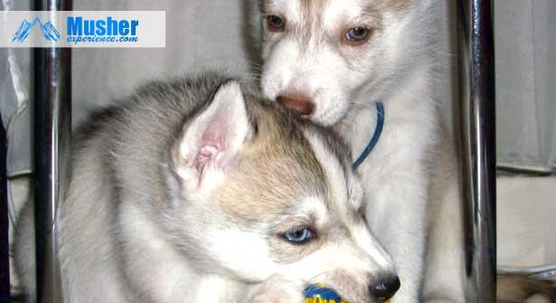 2 chiots sibérien husky - assurance santé