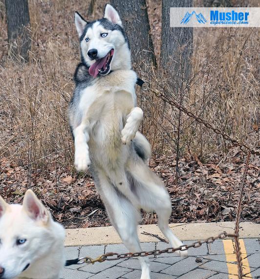 Husky dance