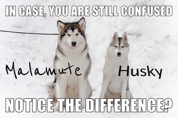 husky malamute difference