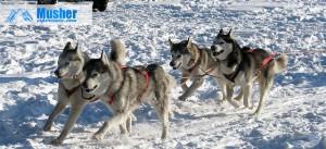 Attelage husky sibérien