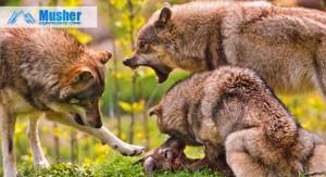 Dominance - loup