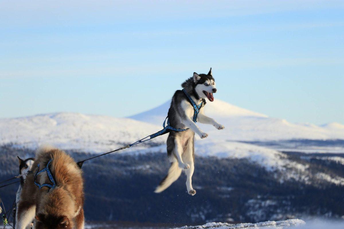 quel age chien tire - de Eywa's Trails Chiens de traineau