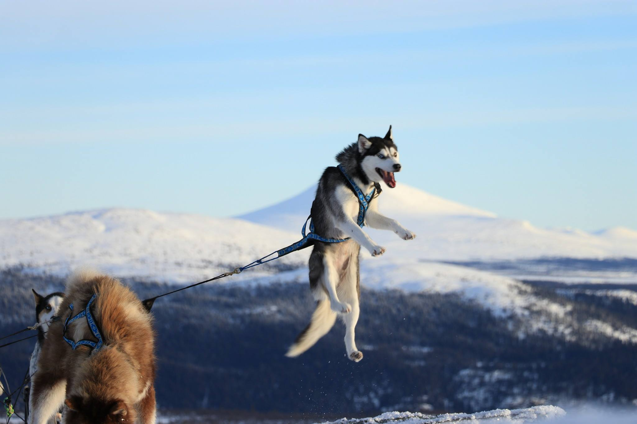 A quel ge un chien peut il commencer tirer dangers et - Coloriage chien de traineau ...