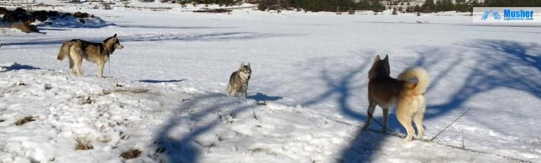 Stake out : husky dans la neige